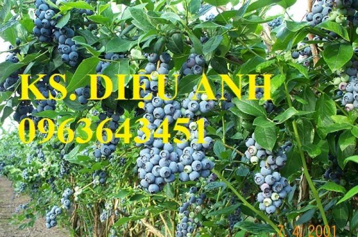 Cung cấp cây giống việt quất, cây việt quất bốn mùa, cây việt quất đang có quả sai siêu đẹp, giá rẻ3