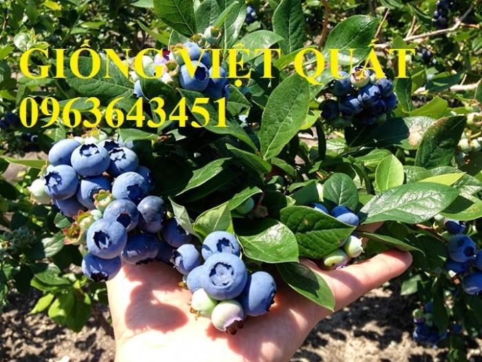 Cung cấp cây giống việt quất, cây việt quất bốn mùa, cây việt quất đang có quả sai siêu đẹp, giá rẻ4