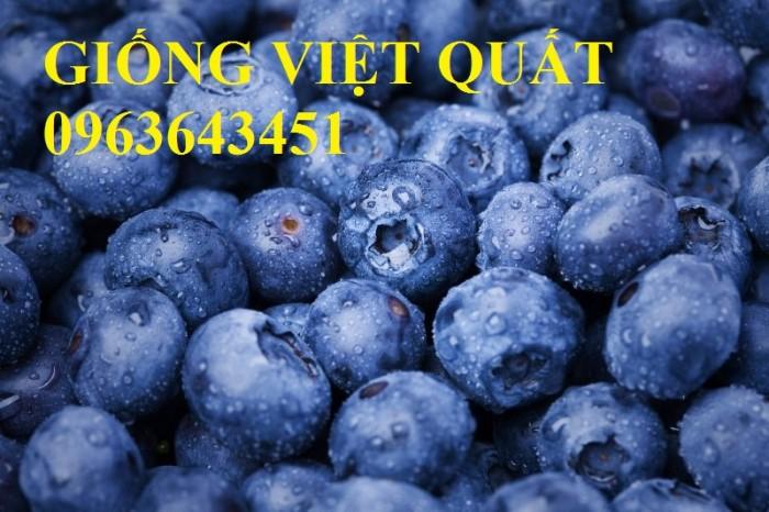 Cung cấp cây giống việt quất, cây việt quất bốn mùa, cây việt quất đang có quả sai siêu đẹp, giá rẻ6