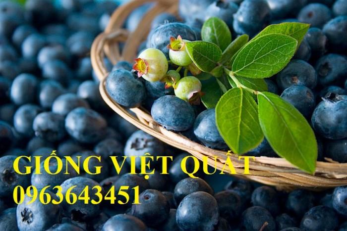 Cung cấp cây giống việt quất, cây việt quất bốn mùa, cây việt quất đang có quả sai siêu đẹp, giá rẻ5