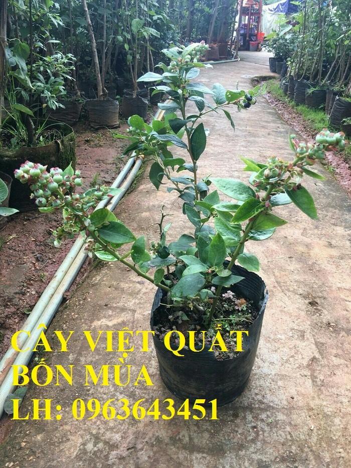 Cung cấp cây giống việt quất, cây việt quất bốn mùa, cây việt quất đang có quả sai siêu đẹp, giá rẻ2