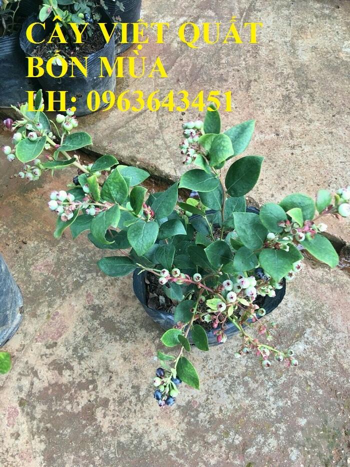 Cung cấp cây giống việt quất, cây việt quất bốn mùa, cây việt quất đang có quả sai siêu đẹp, giá rẻ1