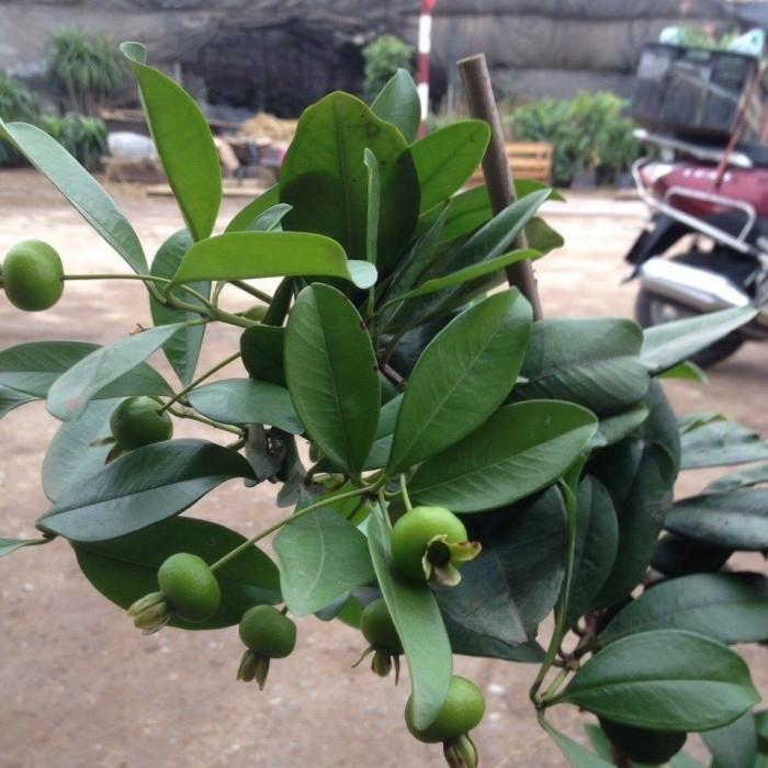 Chuyên Cung Cấp Giống Cherry Brazil,Giống Cây Cherry,Cherry,Giống Cây Cherry Chất Lượng Cao3