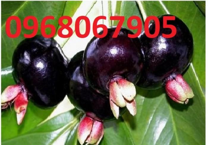 Chuyên Cung Cấp Giống Cherry Brazil,Giống Cây Cherry,Cherry,Giống Cây Cherry Chất Lượng Cao2