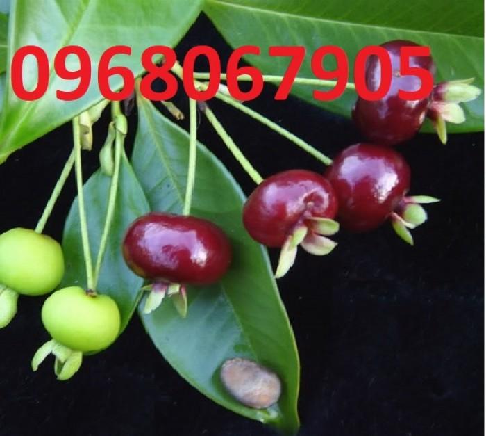 Chuyên Cung Cấp Giống Cherry Brazil,Giống Cây Cherry,Cherry,Giống Cây Cherry Chất Lượng Cao5