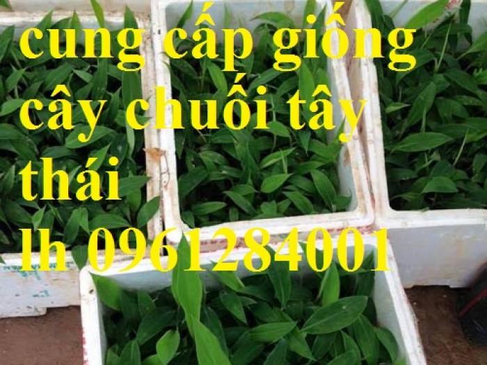 Cung cấp giống cây chuối tây thái lan, chuối tây, chuối thái, chuối nuôi cấy mô, đồng đều, sạch bệnh
