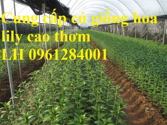 Xuất bán củ giống hoa ly phục vụ trồng tết9