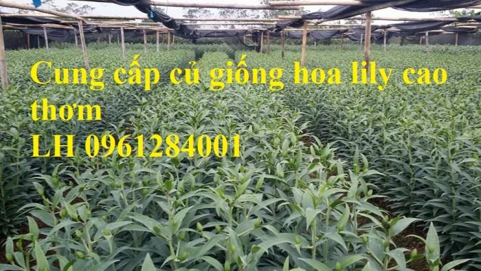 Xuất bán củ giống hoa ly phục vụ trồng tết10