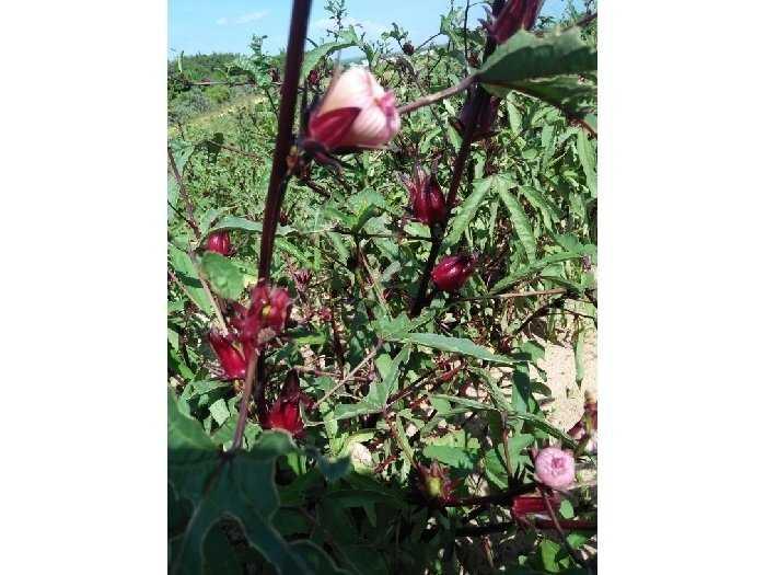 Chuyên bán sỉ - lẻ hoa atiso đỏ(bụp giấm