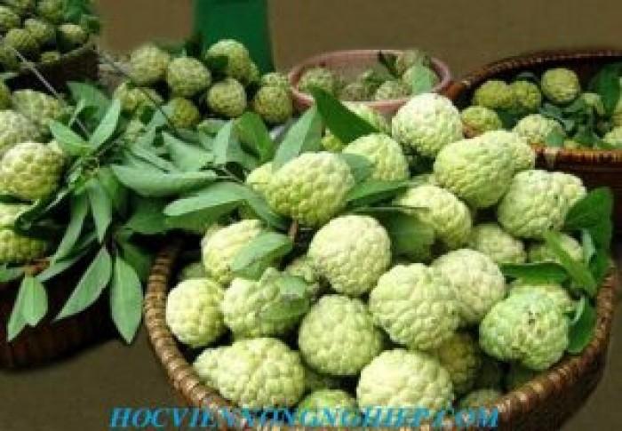 Chuyên cung cấp giống cây Na bở Đài Loan5
