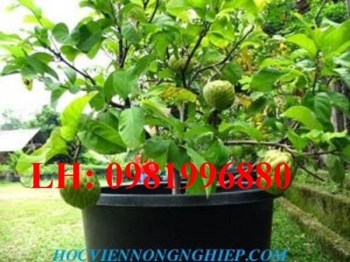 Chuyên cung cấp giống cây Na bở Đài Loan1