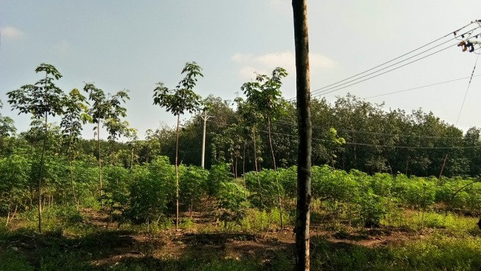 Bán 10,5 ha cao su 2 mặt đường thuận phú đồng phú bình phước