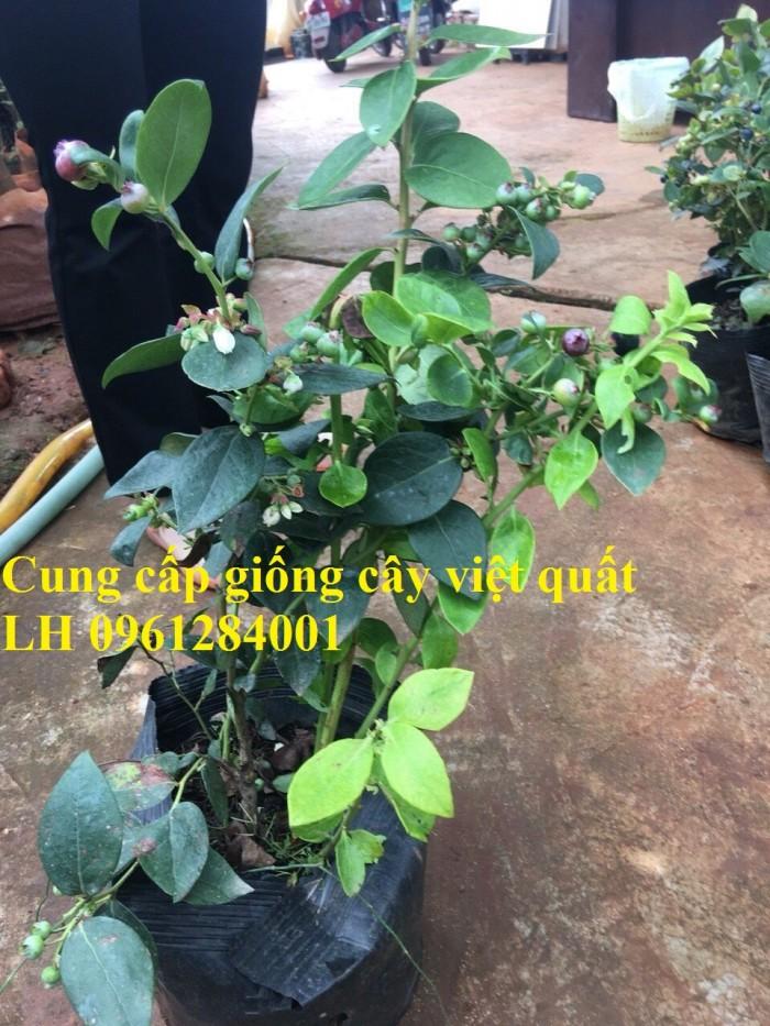 Cung cấp giống cây việt quất, cây sim úc, việt quất bốn mùa8