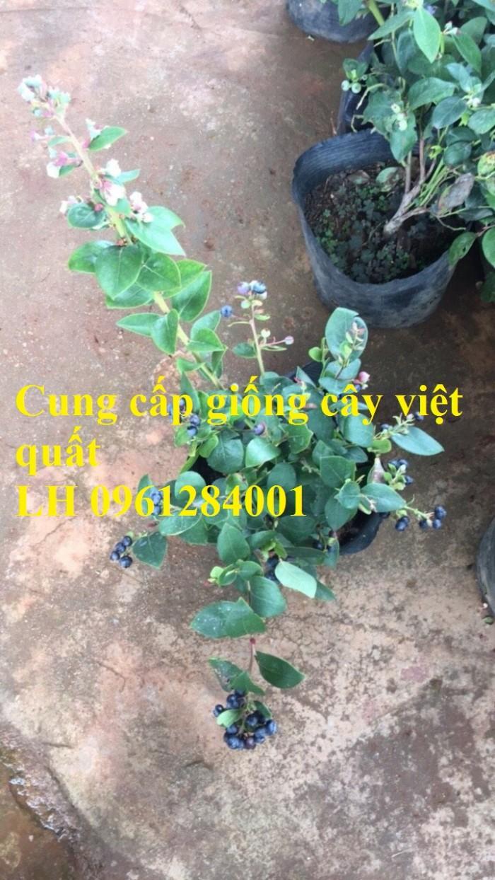 Cung cấp giống cây việt quất, cây sim úc, việt quất bốn mùa11