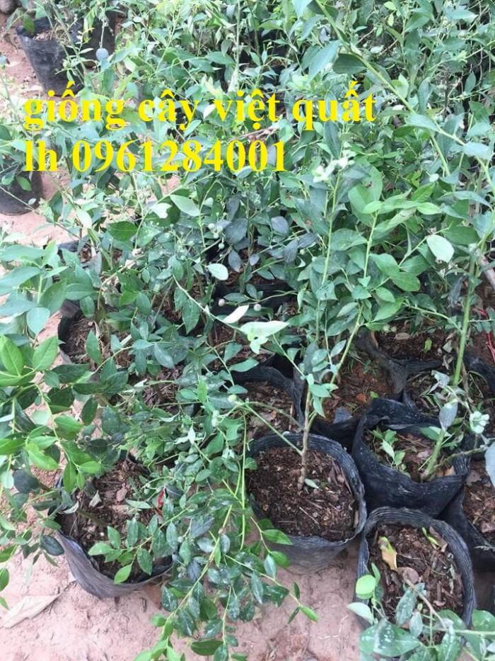 Cung cấp giống cây việt quất, cây sim úc, việt quất bốn mùa17