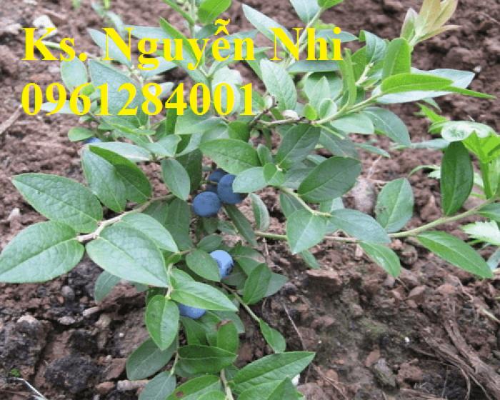 Cung cấp giống cây việt quất, cây sim úc, việt quất bốn mùa16