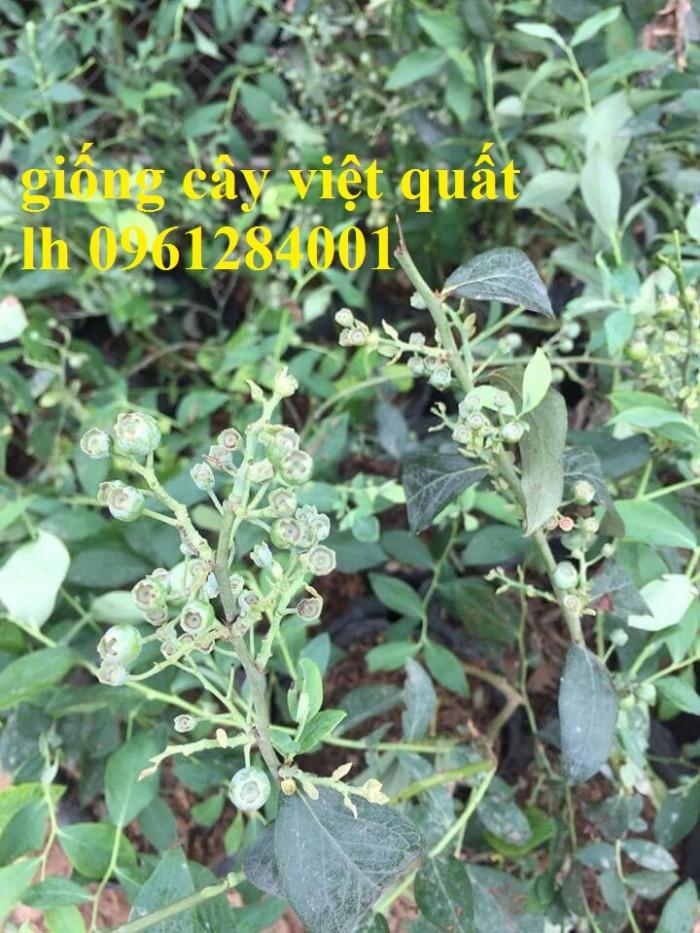 Cung cấp giống cây việt quất, cây sim úc, việt quất bốn mùa3