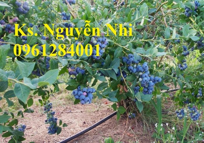 Cung cấp giống cây việt quất, cây sim úc, việt quất bốn mùa9