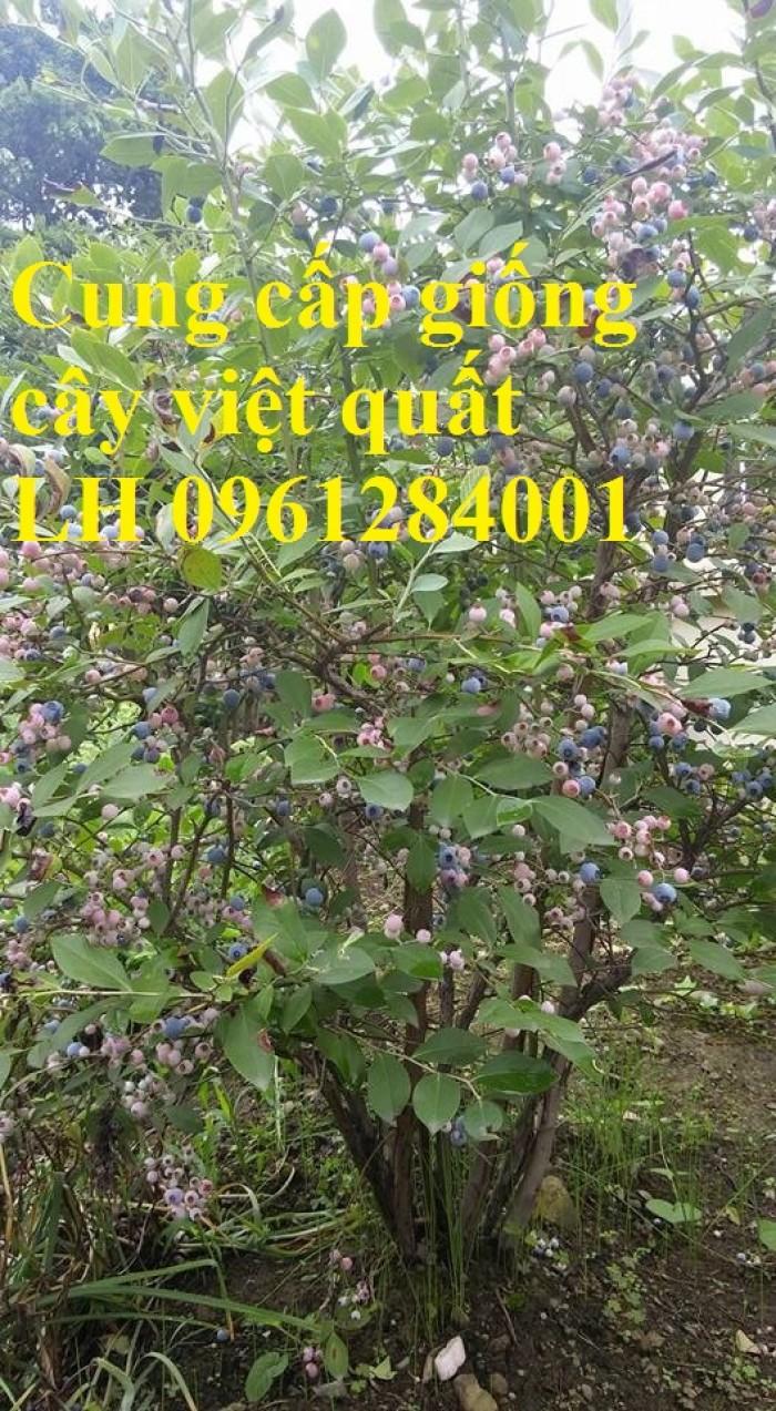 Cung cấp giống cây việt quất, cây sim úc, việt quất bốn mùa1