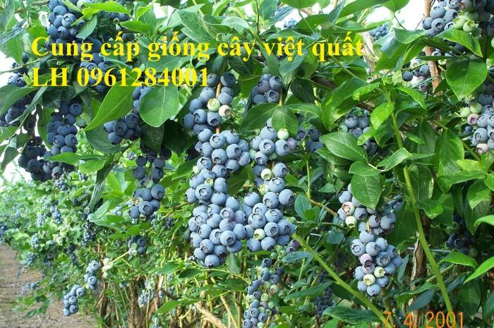 Cung cấp giống cây việt quất, cây sim úc, việt quất bốn mùa12