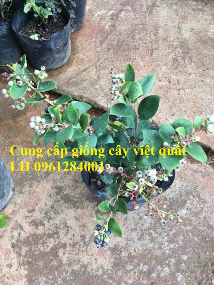 Cung cấp giống cây việt quất, cây sim úc, việt quất bốn mùa2