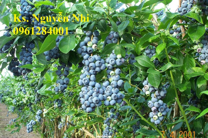 Cung cấp giống cây việt quất, cây sim úc, việt quất bốn mùa10