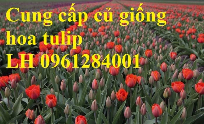 Cung cấp các loại củ giống hoa tuy lip, hoa tulip trồng tết8