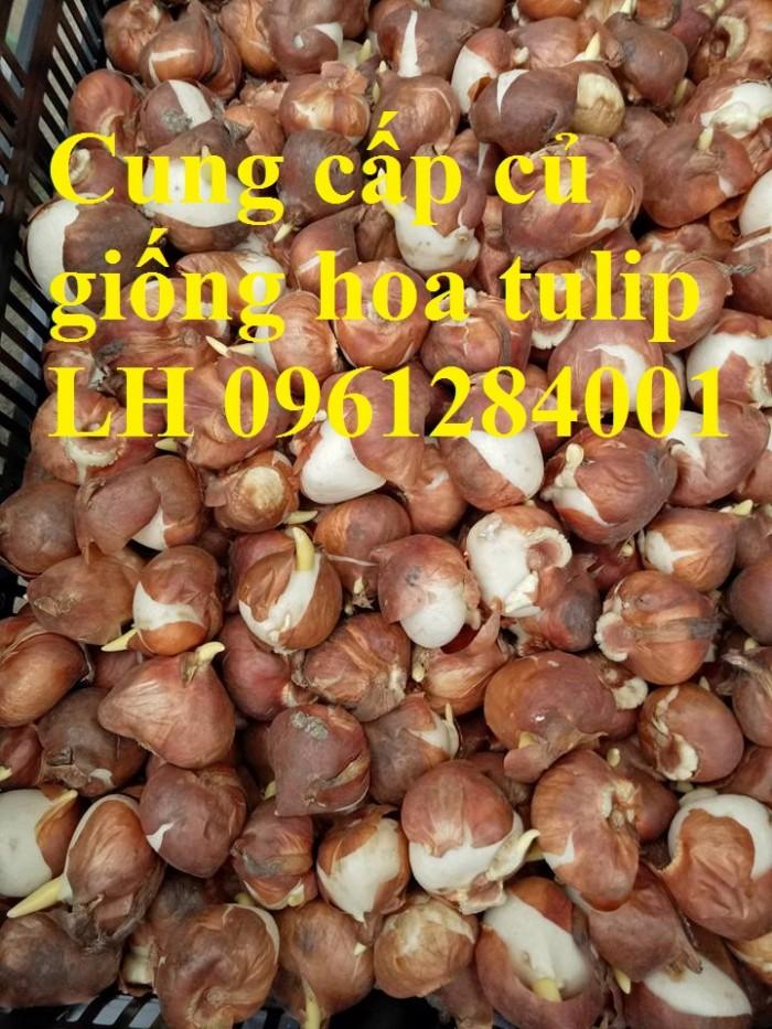 Cung cấp các loại củ giống hoa tuy lip, hoa tulip trồng tết16