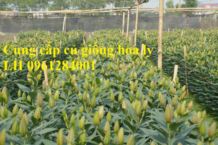 Cung cấp các loại củ giống hoa trồng tết: hoa dơn, hoa ly, tulip, tiên ông, thủy tiên, cát tường, đồng tiền,...4