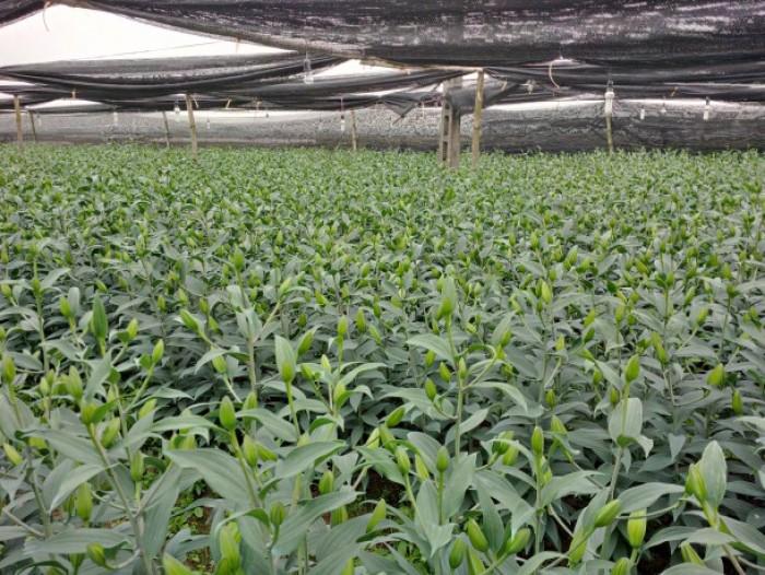 Cung cấp các loại củ giống hoa trồng tết: hoa dơn, hoa ly, tulip, tiên ông, thủy tiên, cát tường, đồng tiền,...17
