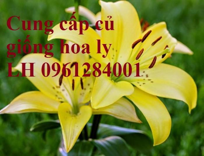 Cung cấp củ giống hoa ly cao thơm, hoa lily, củ hoa ly cao Hà Lan, uy tín chất lượng11