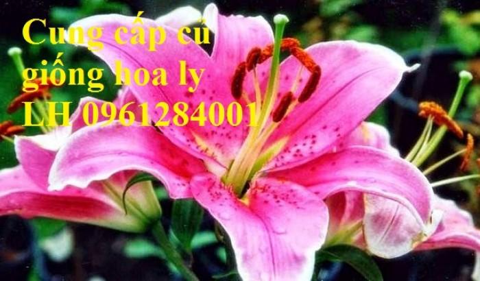 Cung cấp củ giống hoa ly cao thơm, hoa lily, củ hoa ly cao Hà Lan, uy tín chất lượng17