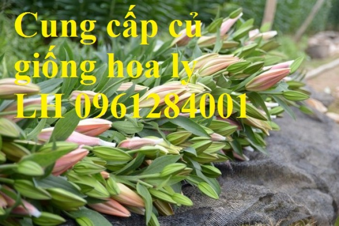 Cung cấp củ giống hoa ly cao thơm, hoa lily, củ hoa ly cao Hà Lan, uy tín chất lượng13