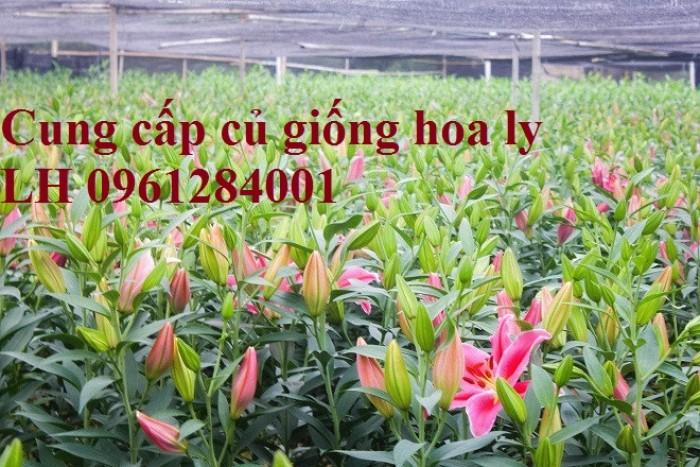 Cung cấp củ giống hoa ly cao thơm, hoa lily, củ hoa ly cao Hà Lan, uy tín chất lượng12