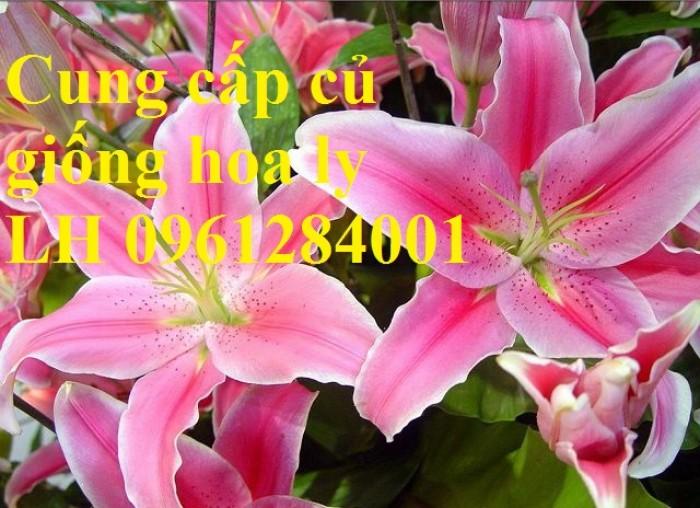 Cung cấp củ giống hoa ly cao thơm, hoa lily, củ hoa ly cao Hà Lan, uy tín chất lượng5