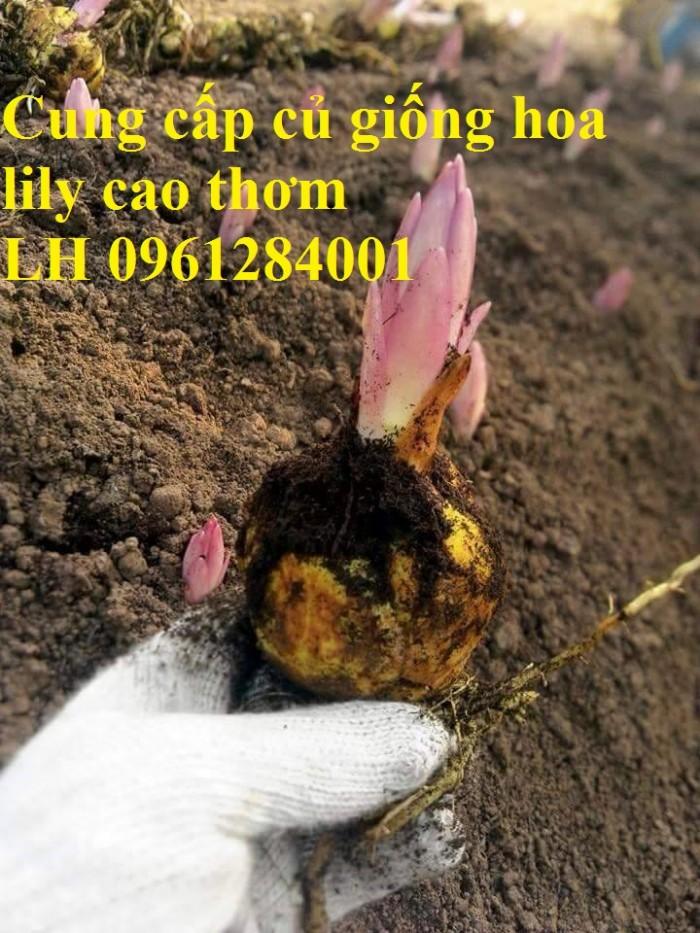 Cung cấp củ giống hoa ly cao thơm, hoa lily, củ hoa ly cao Hà Lan, uy tín chất lượng1