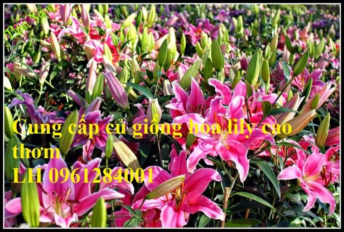 Cung cấp củ giống hoa ly cao thơm, hoa lily, củ hoa ly cao Hà Lan, uy tín chất lượng10