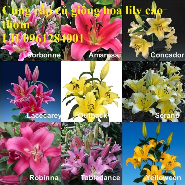 Cung cấp củ giống hoa ly cao thơm, hoa lily, củ hoa ly cao Hà Lan, uy tín chất lượng0