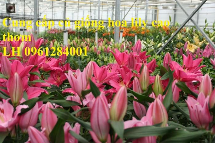 Cung cấp củ giống hoa ly cao thơm, hoa lily, củ hoa ly cao Hà Lan, uy tín chất lượng4