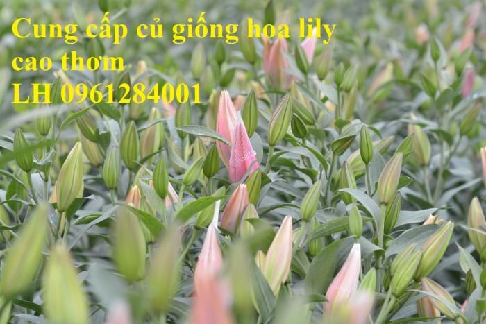 Cung cấp củ giống hoa ly cao thơm, hoa lily, củ hoa ly cao Hà Lan, uy tín chất lượng2