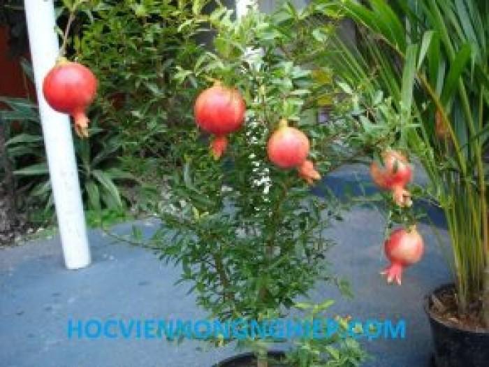 Cây lựu đỏ Ấn Độ - Giống cây đang hót ở Việt Nam13