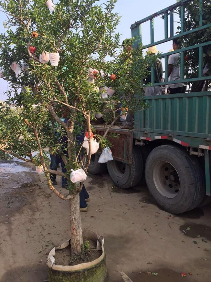 Cây lựu đỏ Ấn Độ - Giống cây đang hót ở Việt Nam4