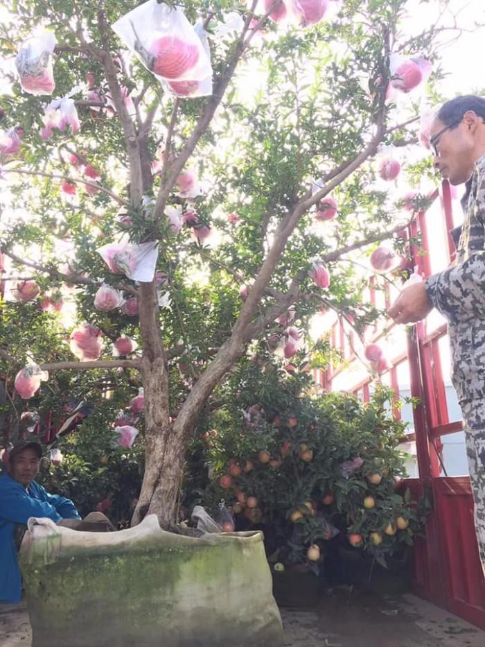Cây lựu đỏ Ấn Độ - Giống cây đang hót ở Việt Nam11
