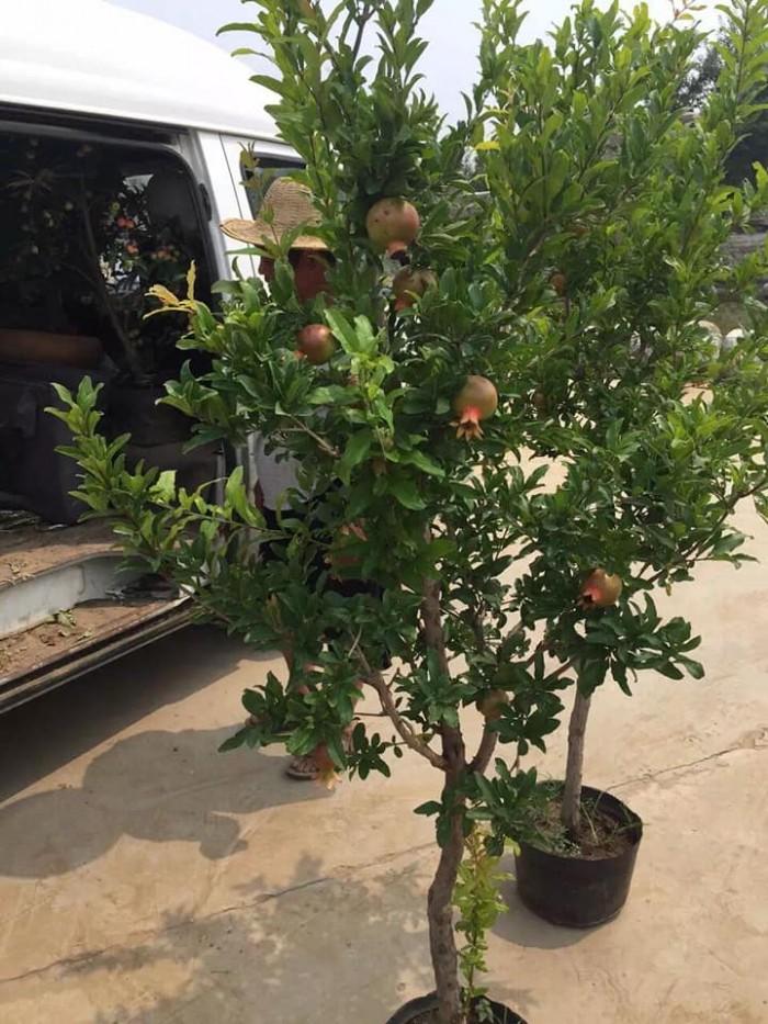 Cây lựu đỏ Ấn Độ - Giống cây đang hót ở Việt Nam12