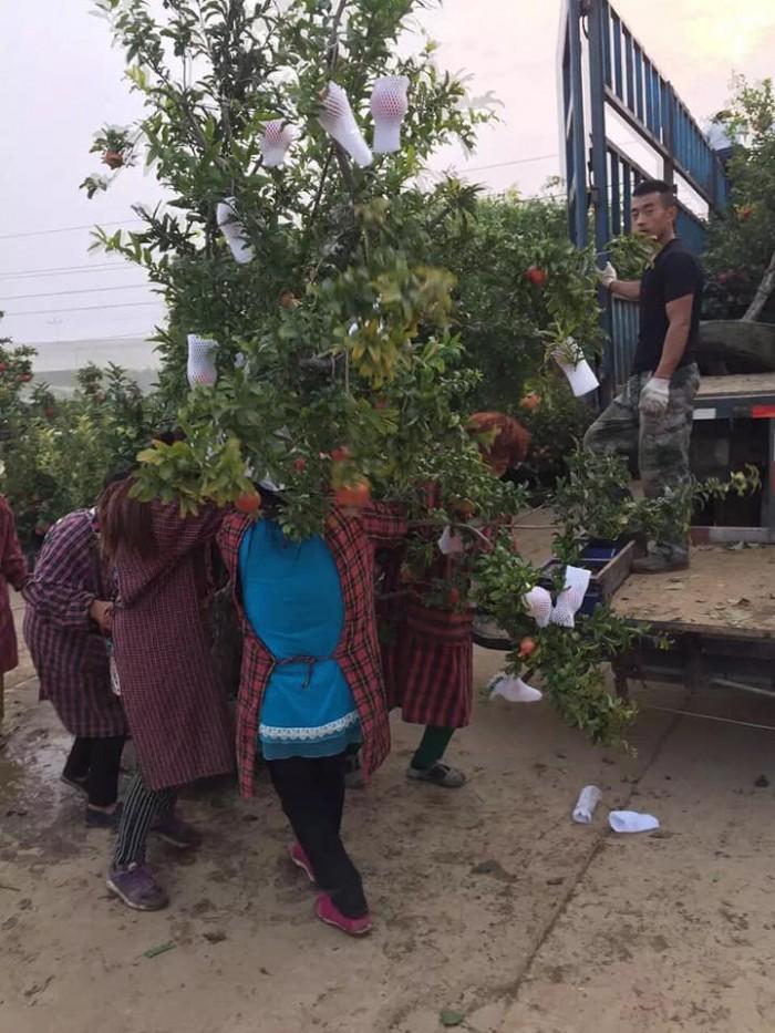 Cây lựu đỏ Ấn Độ - Giống cây đang hót ở Việt Nam10