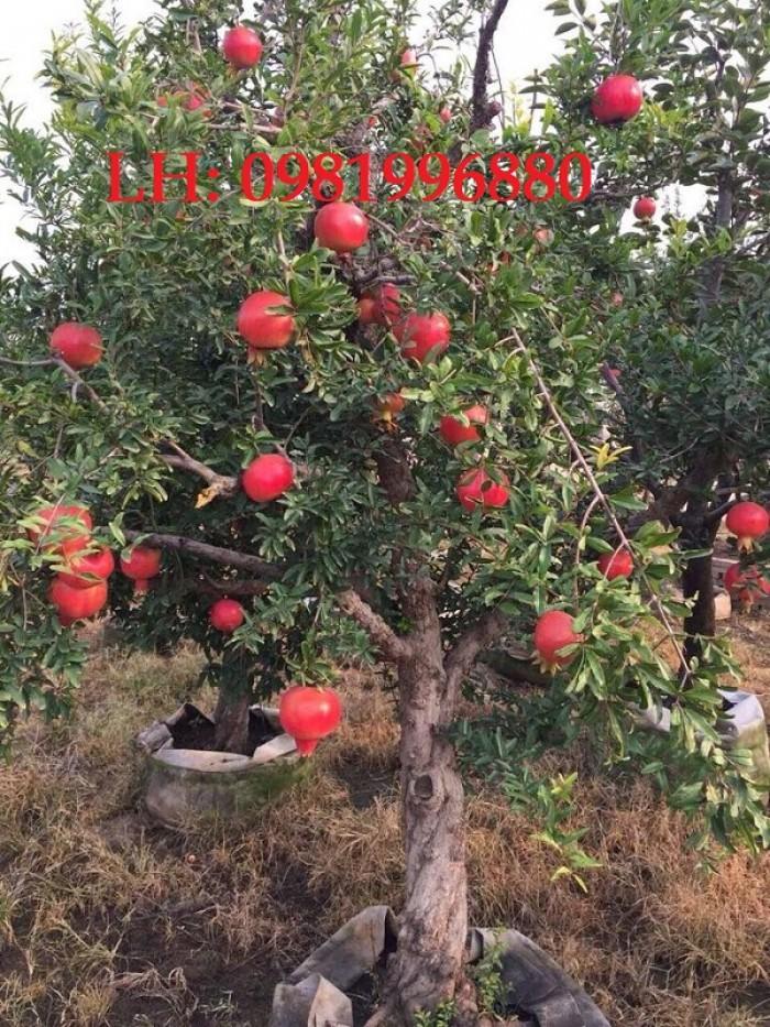 Cây lựu đỏ Ấn Độ - Giống cây đang hót ở Việt Nam2