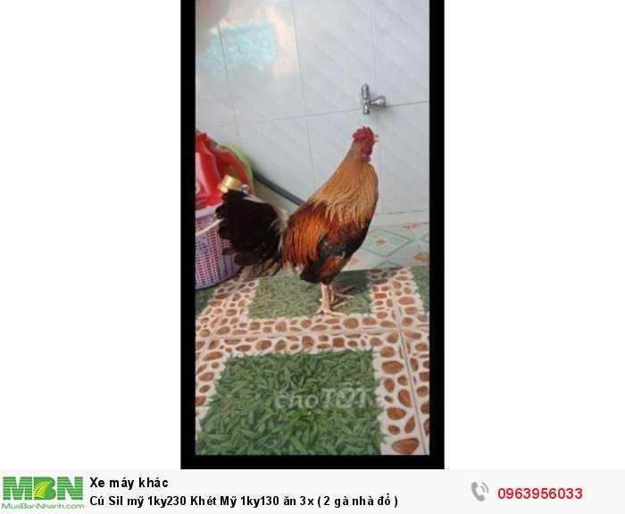 Chú Sil mỹ 1ky230 Khét Mỹ 1ky130 ăn 3x ( 2 gà nhà đổ )0