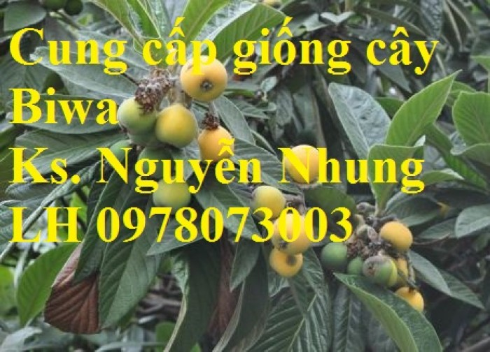 bán GIỐNG CÂY BIWA,cây tỳ bà, sơn tra, mận nhật nhập khẩu chất lượng cao4