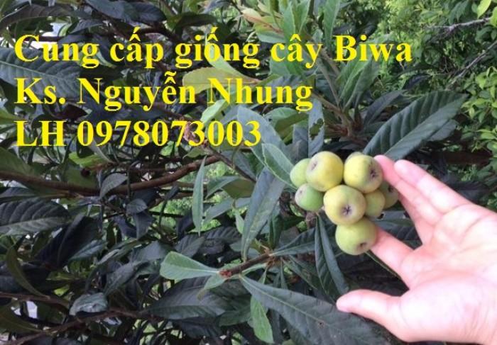 bán GIỐNG CÂY BIWA,cây tỳ bà, sơn tra, mận nhật nhập khẩu chất lượng cao6