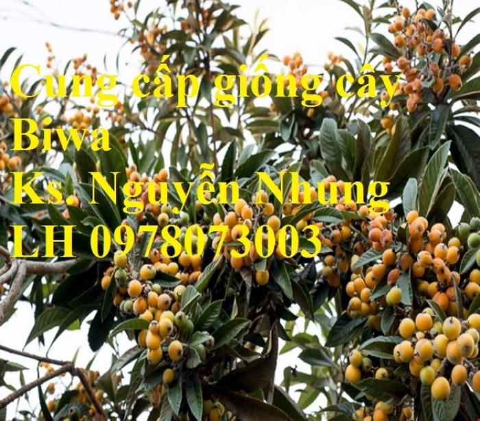 bán GIỐNG CÂY BIWA,cây tỳ bà, sơn tra, mận nhật nhập khẩu chất lượng cao2